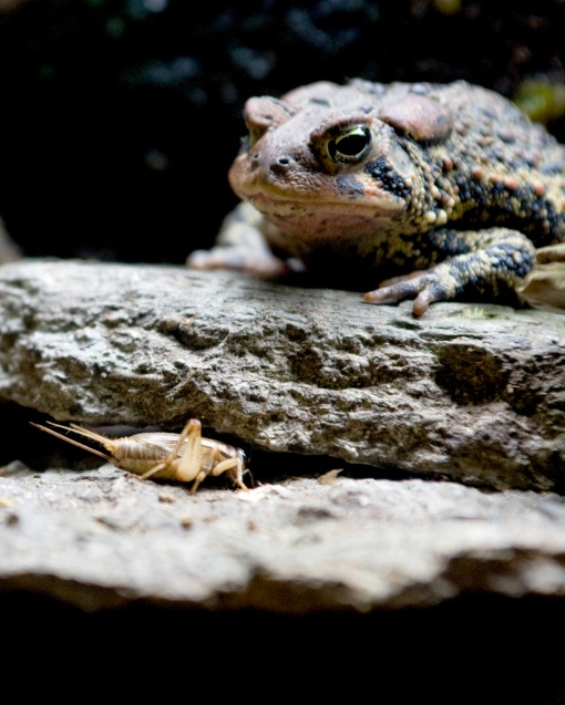 _DSC5551 american toad 810