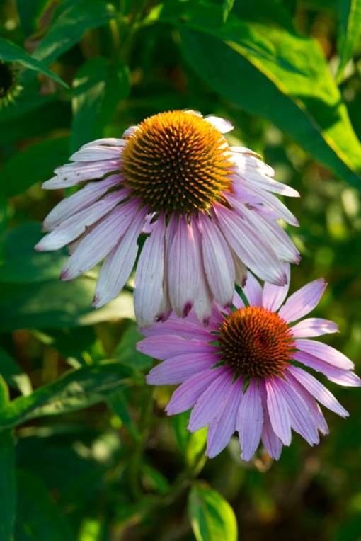 Cone Flowers stacked focus websize
